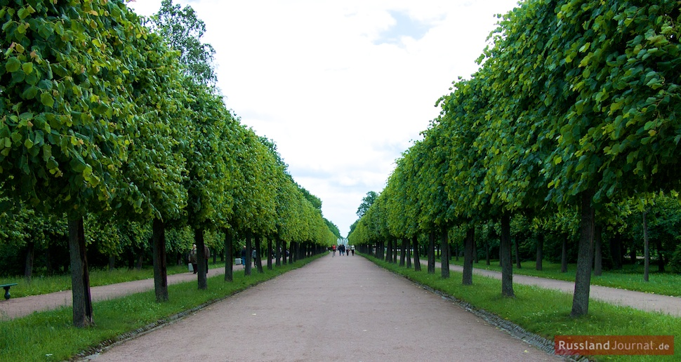 Eine Allee im Unteren Park in Peterhof