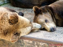 Zwei schlagende Bären