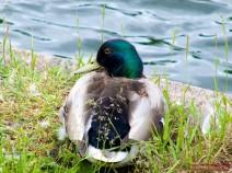 Ente am Teich bei den Volieren