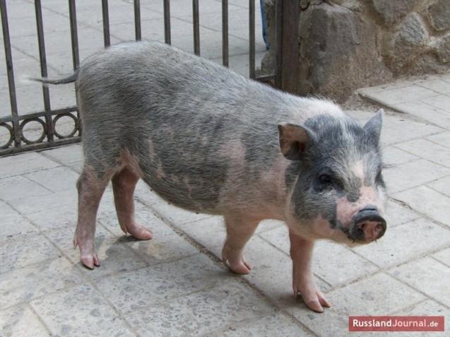 kleines Schwein