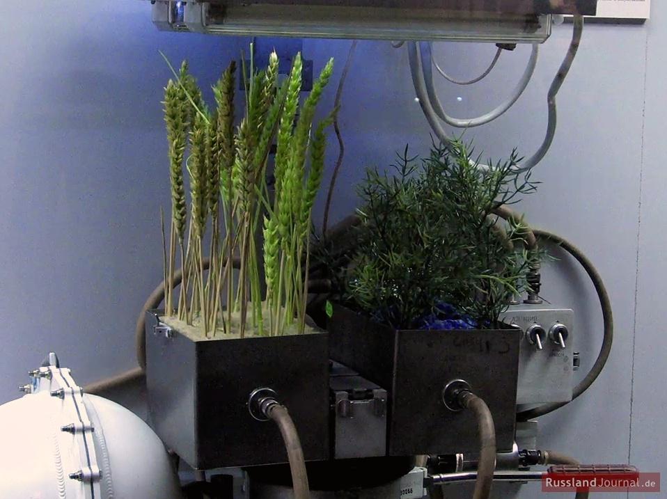 Weltraum-Weizen und -Kresse