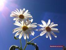 Drei Gänseblümchen